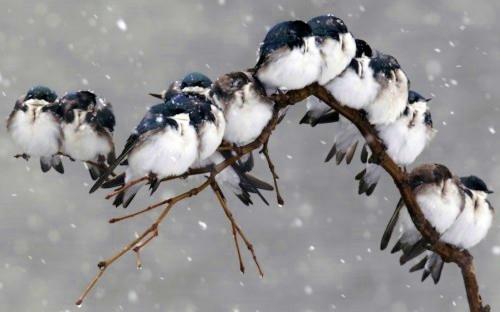 neige_hirondelles