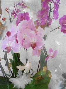 orchidées_hirondellina