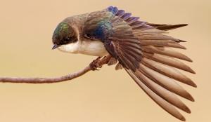 zarb-hirondellina