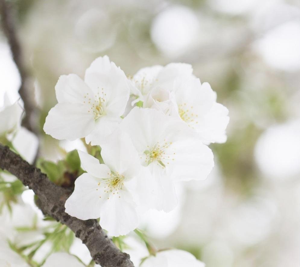 Dentelle hirondellina - Fleuriste grange blanche ...