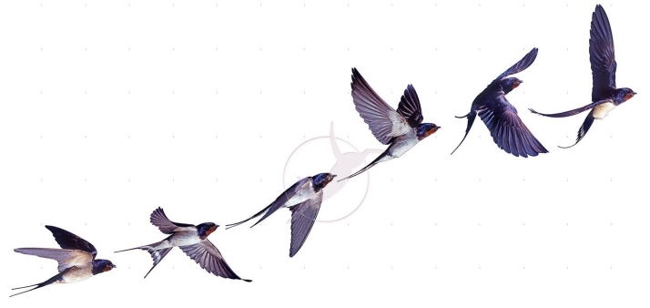Barn Swallow (Hirundo rustica) flight sequence