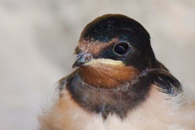 little swallow (400x267)