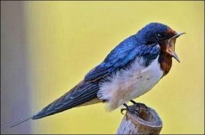 little swallow