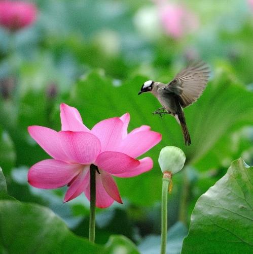lotus-flower- (499x500)