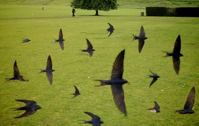 swallows (400x253)