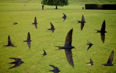 swallows (400x253)